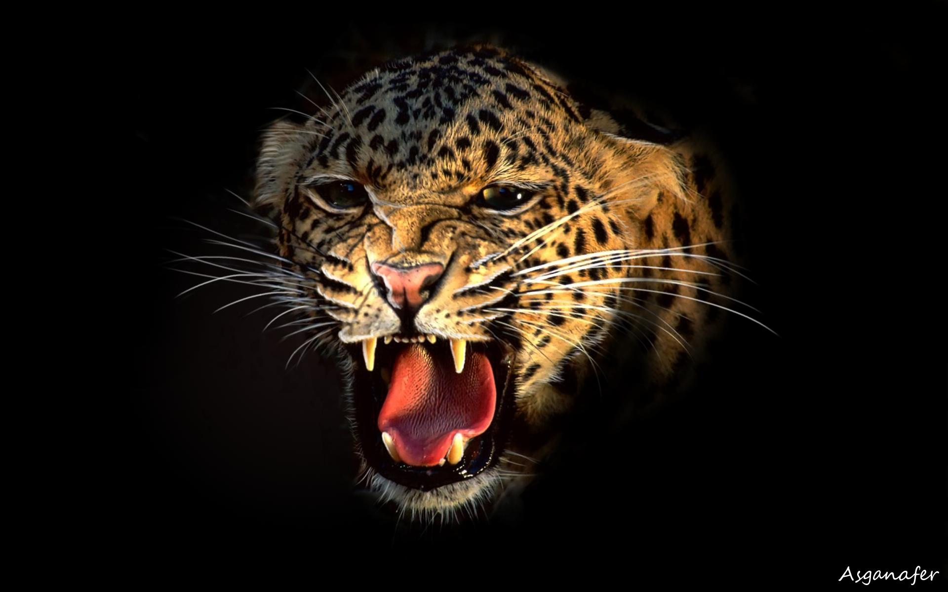 cheetah_finita