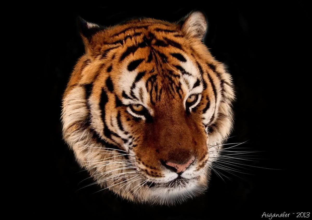 tigre_finita